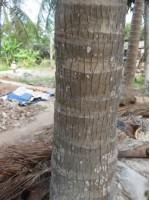 Cừ Dừa 7 - 8m